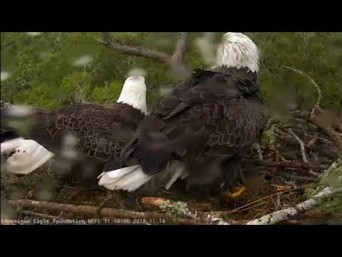 AEF NEFL Eagle Cam 11-14-18: Juliet Throws Romeo a Surprise Shower!