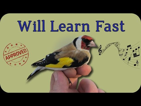 Make Your Birds Learn This European Goldfinch Singing