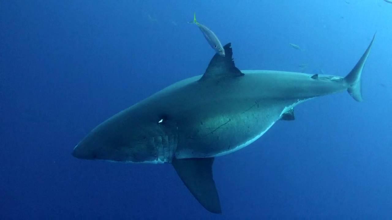 Pregnant Sharks 16