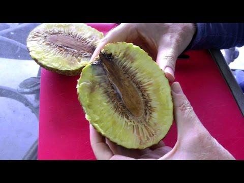 The Breadfruit Tree and Fruit | Artocarpus altilis | Video