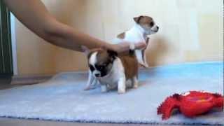 Чихуахуа щенки, веселые и игривые