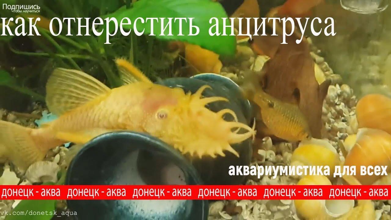 советы как содержать анциструсов, Ancistrus, Zierfische, HOW TO Breed Ancistrus fish