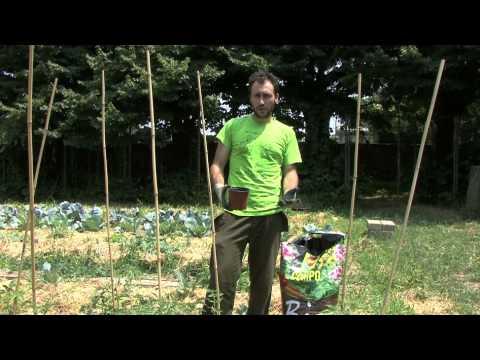 Coltivazione pomodori concimazione e rincalzatura viyoutube for Scacchiatura pomodori