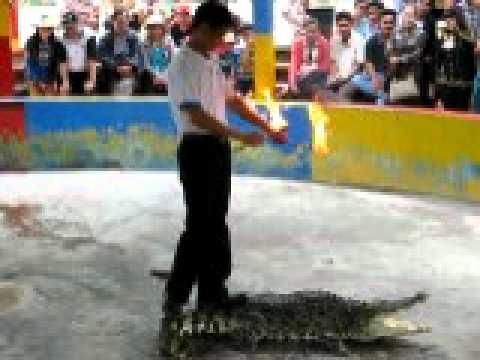 Múa lửa trên lưng cá sấu ở Cần Giờ (Xiếc thú)
