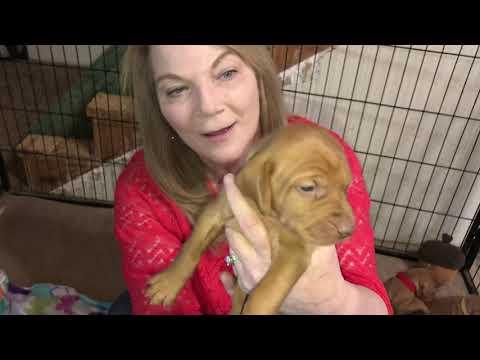 Whitley's Vizsla Puppies Week 3