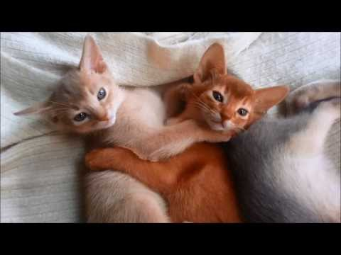 Cute Little Abyssinian Kittens - Rainbow Litter (sorrel, ruddy, blue and fawn) Nymeria Cattery - HD