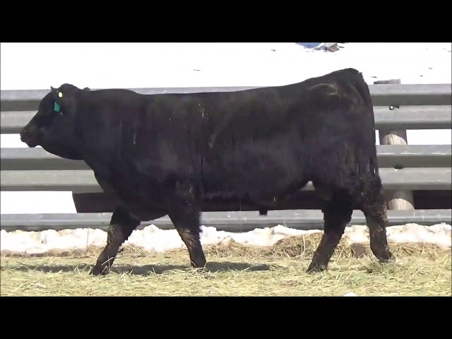Connealy Angus Lot 381