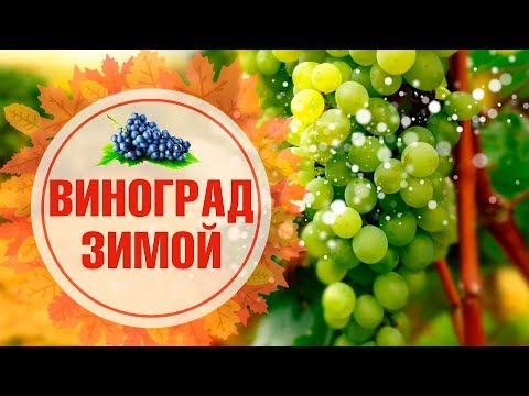 Вопрос: Как подготовить к зиме садовый виноград (в средних широтах)?