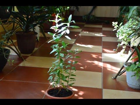 Гранатовое дерево можно вырастить из косточки!
