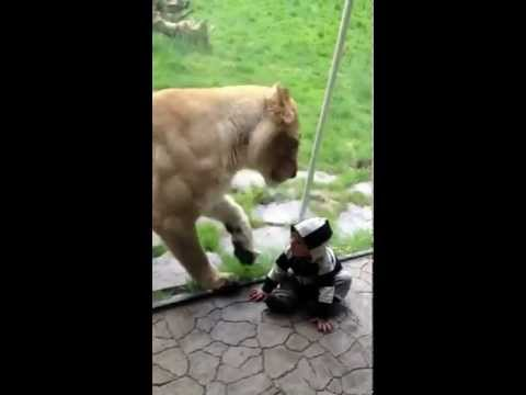 Lion Tries To Eat Baby Part 1 Youtube