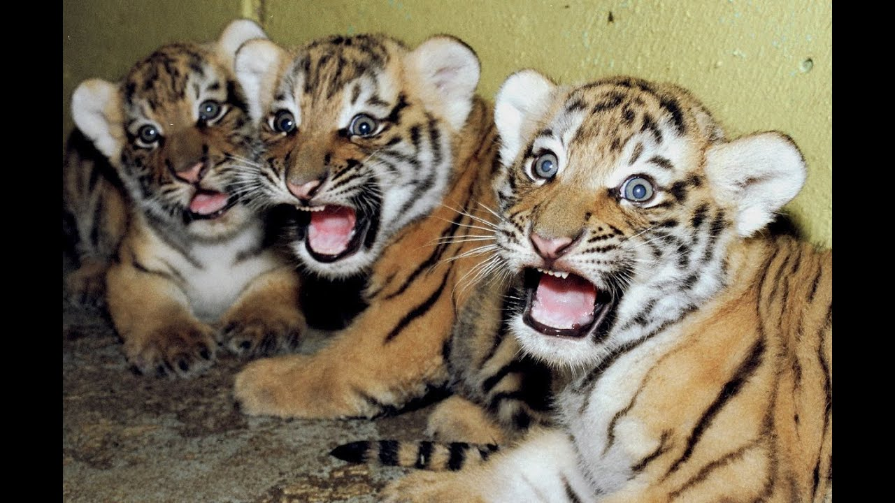 Cute Newborn Baby Girl Wallpaper Cute Newborn Tiger Cubs Amazing Video Of Siberian Tigers