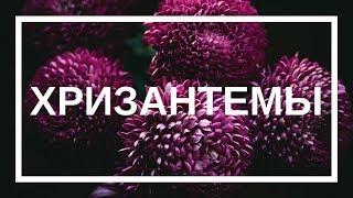 Как сохранить хризантемы // Как собрать букет из хризантемы