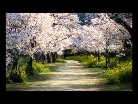 вишни цветут весной
