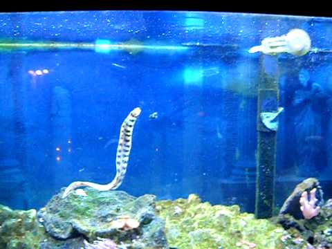 90 gallon saltwater aquarium snowflake eel youtube for Eel fish tank