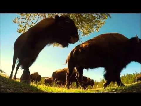 Bison close encounter Grand Prismatic Yellowstone GoPro video by Dan Zarate Photography