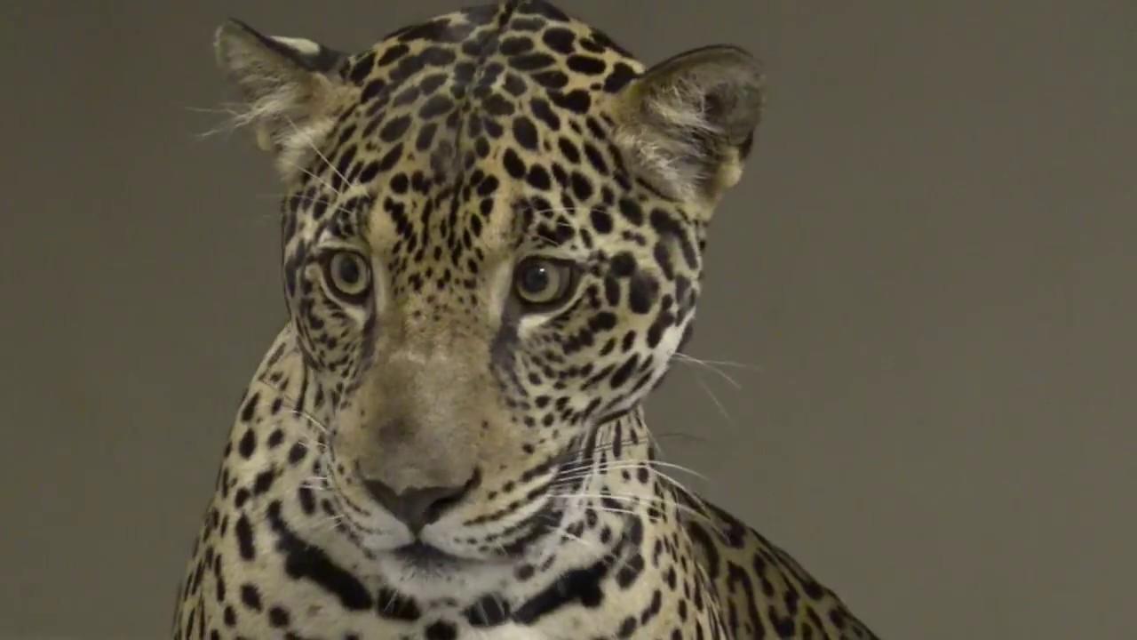 Good Finally Fiona: Orphaned Jaguar From Panama At Palm Beach Zoo