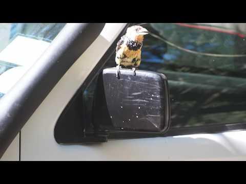 P5078023   Kuifbaardvogel valt spiegelbeeld aan