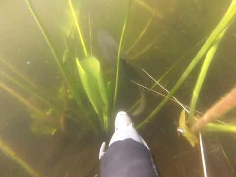 karosikas :) / spearfishing in Lithuania