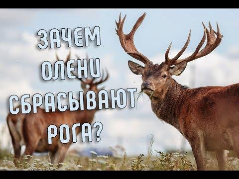 Как олень сбрасывает рога видео
