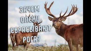 Зачем Олени Сбрасывают Рога? | Северный олень