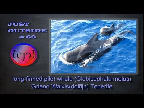 long-finned pilot whale (Globicephala melas) Griend Walvis (dolfijn) Tenerife - JUST OUTSIDE #63