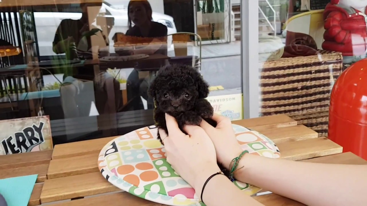Baby angel Silver poodle  heart attack video- Teacup puppies