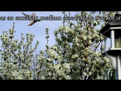 *Plant a Flowering Pear Tree* +Correctly+Fast Pear Flowers+