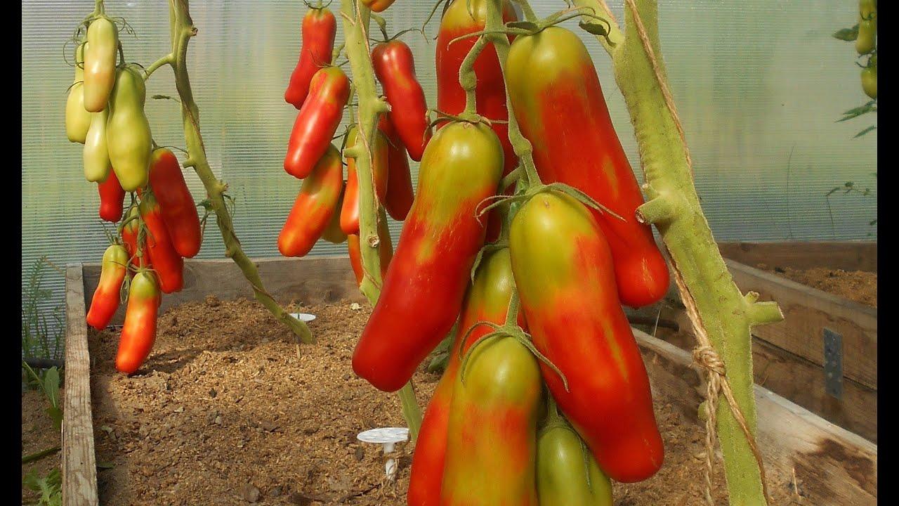 сорт помидор казанова фото