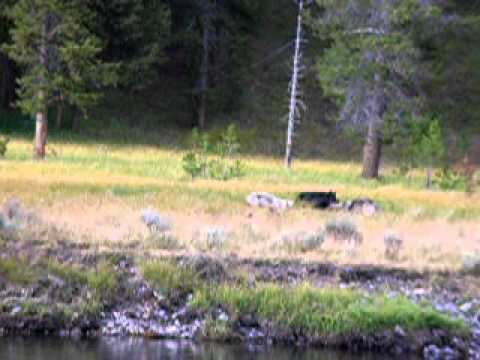 Three Wolves and an Elk in Yellowstone National Park