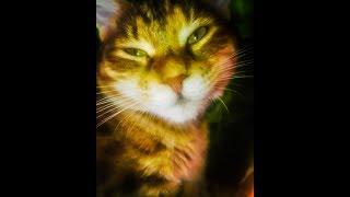 Как трапезничает Кошка Ласка породы Бобтейл 👍🐾