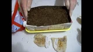 Посадка перца на рассаду без пикировки