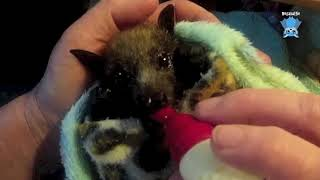 Baby flying-fox day 3 in care:  this is DeFreeze
