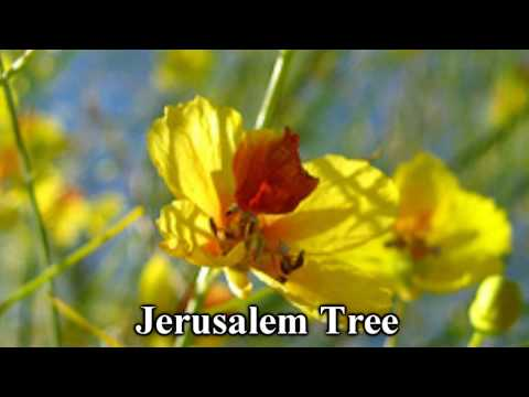 *Jerusalem Thorn Tree* +Death Crown+Parkinsonia Acuelata+Jesus+