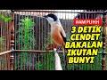 Cendet Gacor Full Isian Suara Pancingan Masteran Cendet Macet Bunyi Bisu Stress Dan Miyik  Mp3 - Mp4 Download