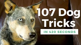 107 Dog Tricks Performed by Kronos the Cattle Dog
