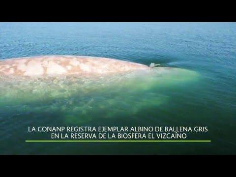 La CONANP registra ejemplar albino de ballena gris en el El Vizcaíno