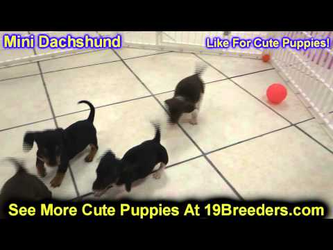 Miniature Dachshund, Puppies, Dogs, For Sale, In New York, New York, NY, 19Breeders, Brookhaven