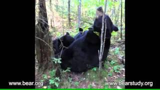September 10, 2011 - Lily the Black Bear, Hope and Faith - Still Nursing
