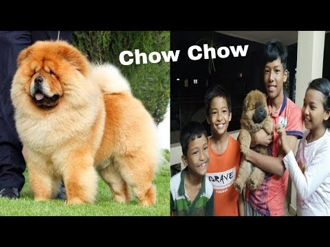 Chow Chow puppy Breed information and Customer feedback