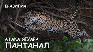 Мир Приключений - Самка ягуара на охоте. Пантанал. Бразилия. Jaguars attack. Pantanal. Brazil.