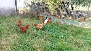 Kury na świerzej trawie
