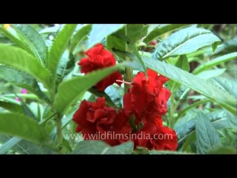 Red balsam flower plant impatiens youtube red balsam flower plant impatiens ccuart Choice Image
