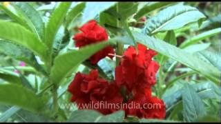 Red Balsam flower plant - Impatiens