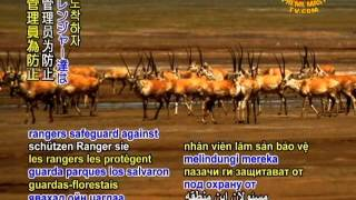 SAVE OUR PLANET - Rescuing the baby Tibetan antelopes