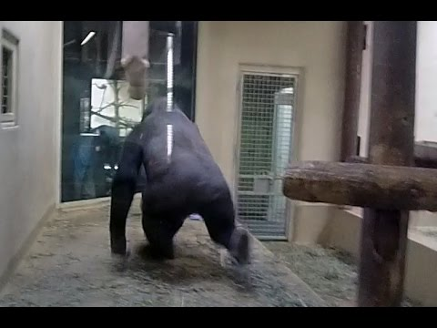 Angry Gorilla shocks zoo worker - YouTube - photo#38