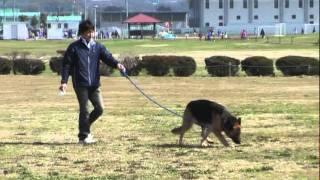 愛犬シェパードとのトレーニング(訓練)です。 服従と追及のトレーニン...