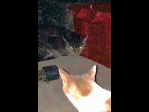 Cat fight:  Bobtail vs. Domestic Cat , May be Bobcat Hybrid, Good vocalization Fluffed Tail