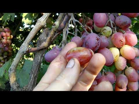 """Сорт винограда""""Анюта""""   созревания   винограда   среднего   виноград   красные   срока   сорта   анюта"""