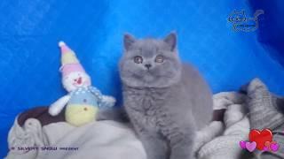 Британский котик Шон играет с махалкой.