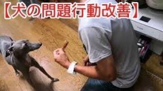 犬の問題行動改善 フードアグレッシブ・硬いオヤツに執着し唸る・噛む イ...